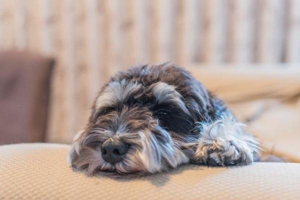 犬の外耳炎の手術について!方法や費用、予後など!