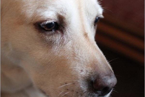 糖尿病探知犬とは?日本での育成や低血糖の感知法など!