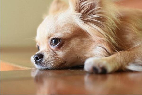 犬の心臓病の手術!リスクや成功率と予後や費用などまとめ!