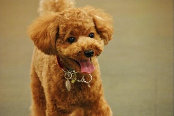 犬の気管虚脱の検査~診断~グレードや症状~治療法など!