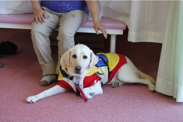 介助犬の犬種や仕事内容は?訓練や認定試験、実働頭数など!