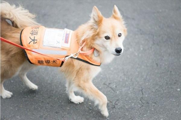 聴導犬の仕事や犬種、頭数は?訓練や認定試験、普及率など!