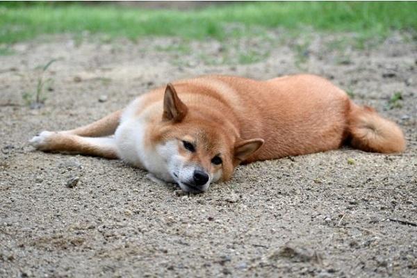 犬ブルセラ症とは?症状や予防法と人への感染の可能性など!