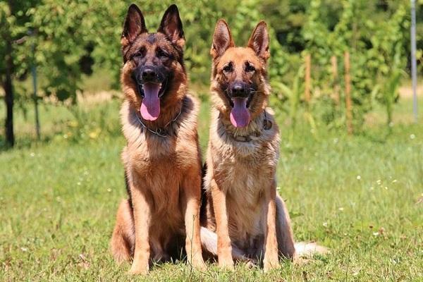 警察犬の犬種や性格など適正は?シェパードが多い理由とは?