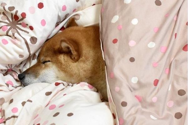 犬の腎不全の末期!痙攣などの症状や治療法、余命について!