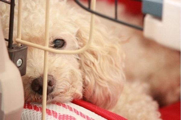 犬の腎不全で呼吸が早い,荒いなどの原因や治療法について!