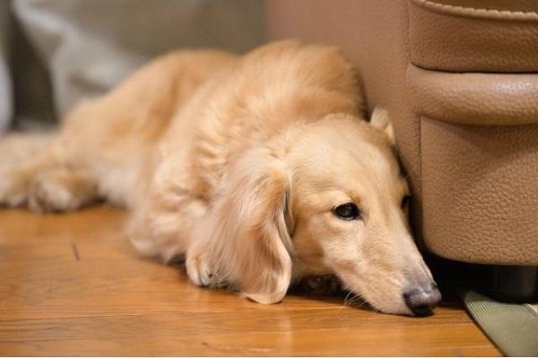 犬の腎不全に漢方薬の作用や効果は?症状軽減や進行抑制も?