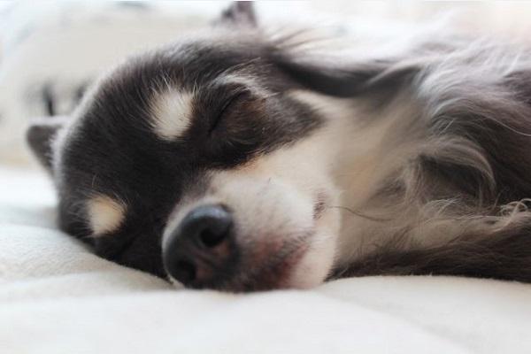 犬の腎不全にステロイドが使われる場合とは?作用や効果など!
