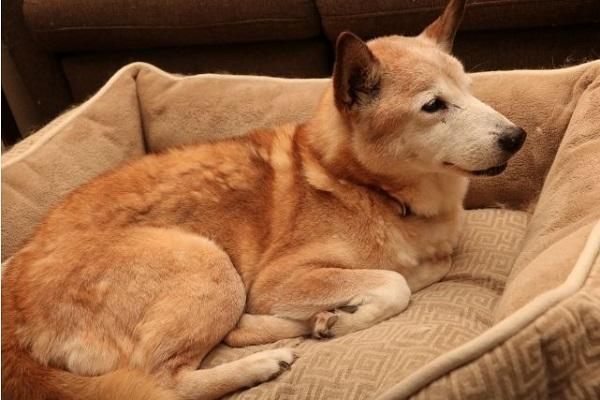 犬の腎不全による尿毒症!症状や体の状態、治療法や余命など!