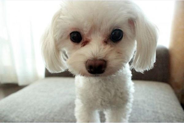 犬の涙が多い、流れる原因と考えられる病気について!