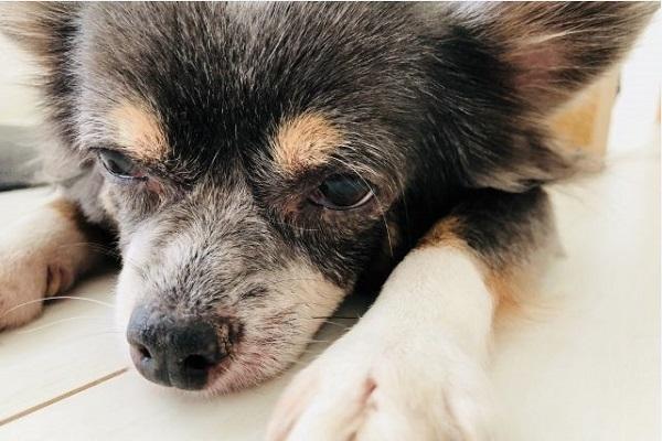 犬の慢性腎不全の口臭!原因や対処法、おすすめサプリなど!