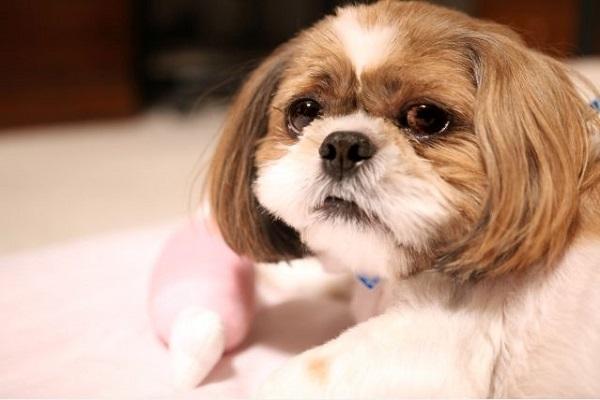 犬の慢性腎不全の痛みや辛さとは?体の状態や対処法について!