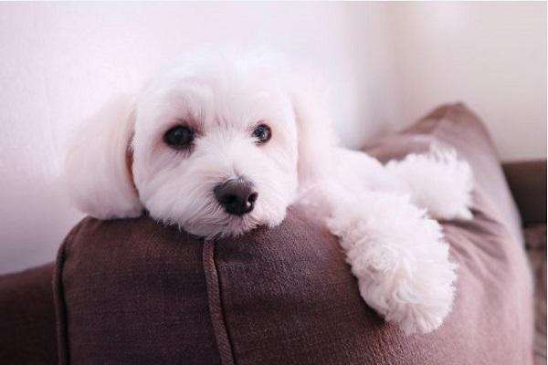 犬の心臓病と楽な姿勢について!横になれない、寝れないなど!
