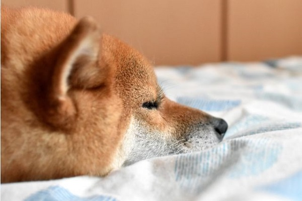 犬の腎不全と安楽死の選択について!最期の看取りとは?