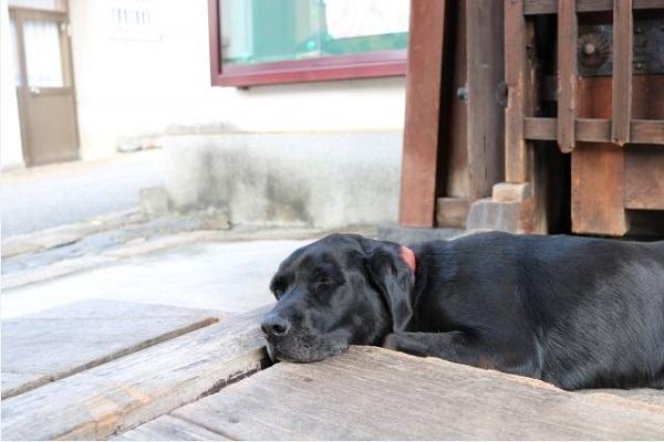 犬の急性腎不全の原因や治療法と経過、予後について!