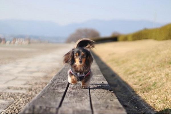 犬の椎間板ヘルニアに最適なドッグフード!ケアやサポートに!
