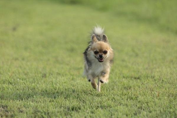 犬の膝蓋骨脱臼(パテラ)に最適なフード!ケアやサポートに!