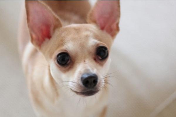 犬のてんかん!脳炎や腫瘍、浮腫などの症状や発作について!