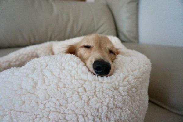 犬の腹水の症状や治療法!痛みや呼吸困難、利尿剤の効果など!