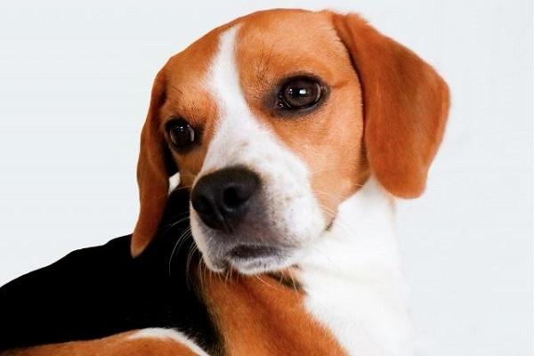 犬の乳がん?良性の場合の特徴や検査と治療法や経過など!