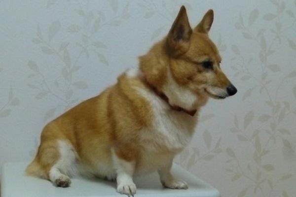 犬の腹水の原因や検査法と病気による特徴や色の違いなど!