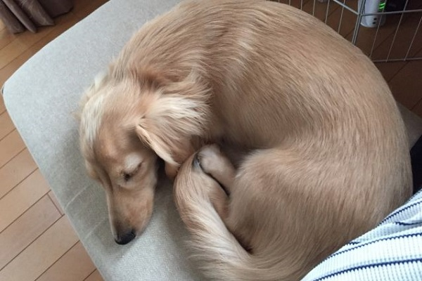 犬の腎不全!先天性(生まれつき)の腎臓病の種類や原因など!
