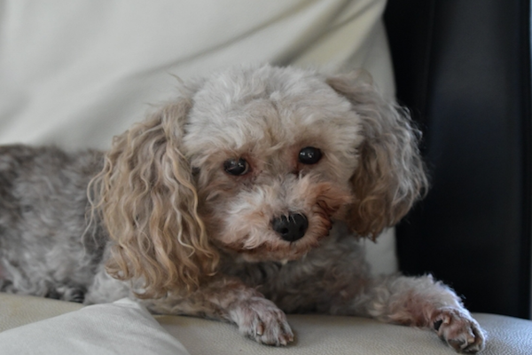 犬の白内障にサプリの効果とは?成分や作用、おすすめなど!