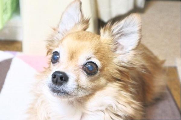 犬の白内障の検査法や費用、手術適応かの診断についてなど!
