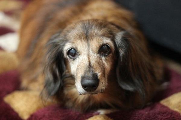 犬の白内障の手術法や費用!術後管理や経過、予後について!