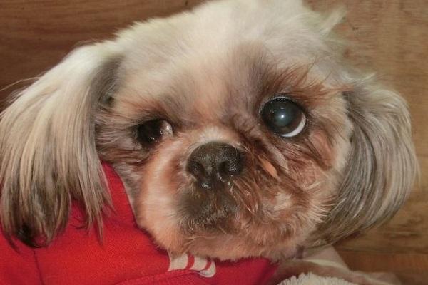 犬の白内障の点眼薬!種類と作用や効果、注意点について!