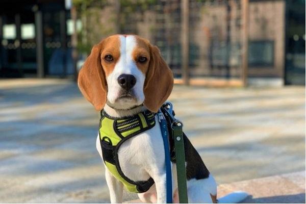 検疫探知犬の訓練育成やハンドラーと犬種や引退後など!