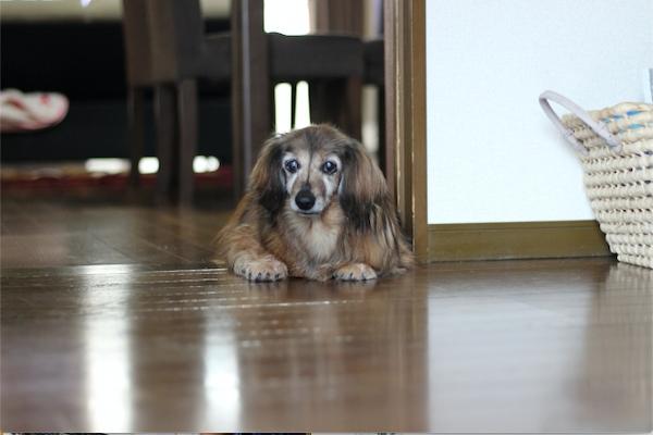 犬の核硬化症!白内障との違いや症状、注意点や進行抑制など!