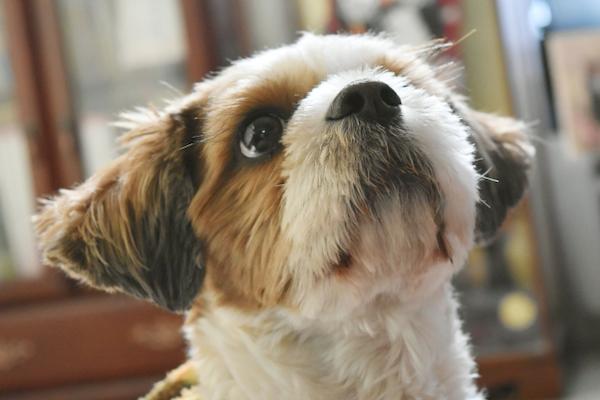 犬の緑内障の手術法や費用、経過や予後について!