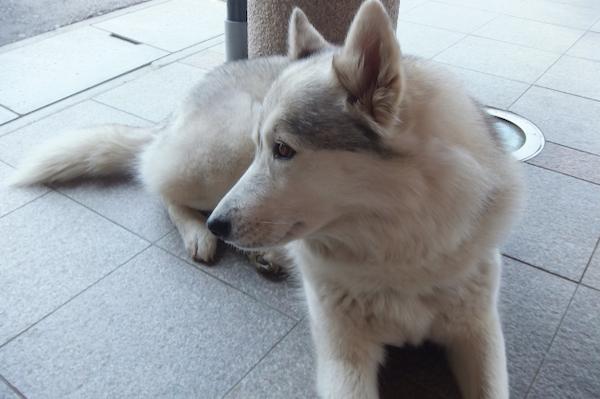 犬の前立腺炎(急性、慢性)の治療!抗菌剤の効果や予後など!