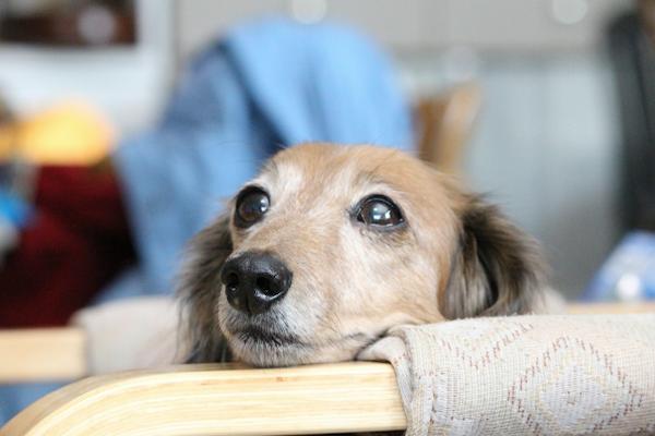 犬の糖尿病による白内障の治療!点眼の効果や手術のリスクなど!